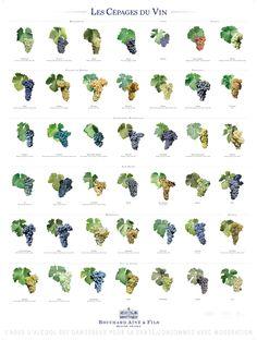 The Grape Varieties of Wine  Our wine posters > Bouchard Aîné & Fils…