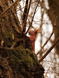 Ein Eichhörnchen klettert einen Baum hinauf. – A squirrel climbs a tree.