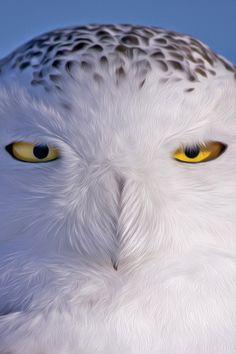 owl  /  coruja
