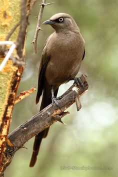 The Ashy Starling (Lamprotornis unicolor) is a species of starling in the Sturnidae family. It is found in Kenya and Tanzania.