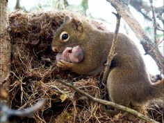 Mother Squirrel caring for her newborn