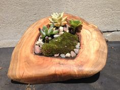 Tree burl with succulents; for bay window sculptural and beautiful succulents in artistic natural bowls/planters