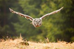 Great Grey Owl by Robert Adamec on 500px