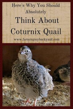 Want to be an urban homesteader but don't have enough space for traditional livestock? Try raising Coturnix Quail for meat or eggs.
