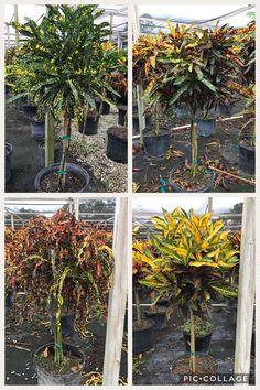 Several varieties of Croton trees