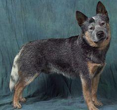 Australian Cattle Dog King