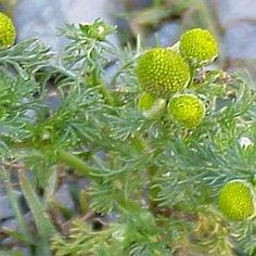 Pineapple weed (Matricarla discoidea ), is a wild relative of chamomile (Matricaria recutia) that has been used in folk medicine for many years.