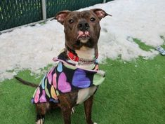 JEP - 17805 - - Manhattan TO BE DESTROYED 01/16/18 A volunteer writes: Wearing his heart on his sleeve–well, OK, his coat–Jep is all tail waggy, bouncing fun He's still a puppy at one year old, the world is his oyster and he wants to play, snuggle, go on walks and play some more. His lanky, elegant frame is wrapped in a shiny brindle coat, and the coloring around his nose makes him look as if he has a little pink moustache — so cute! Jep pottied out