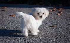 Top 12 Small Dog Breeds That Have Cuties Puppies in the World