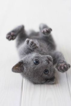 Cute russian blue kitten playing