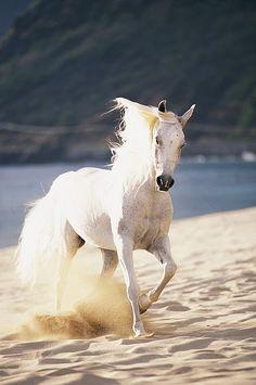 Beautiful horse running on white sand beach