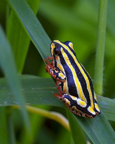 Painted Reed Frog. Africa. Photo: Staticflickr.com.