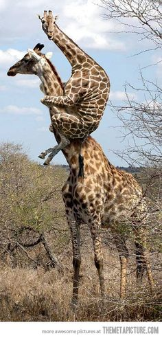 Weeeeeee weeee weeeee! Giraffe baby on the lookout for fun.