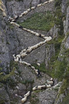 Every year, in the Swiss Alps ,at the begin of Autumn, the sheep are herded together on their summer pasture and are lead back to the valley. Visitors and locals to get together and celebrate the return of the sheep.