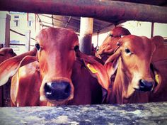 A Cow Shelter Deep in the Markets of Mumbai: Cows inside the shelter.