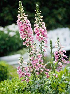 ♕ planning to plant foxglove in our cottage garden next spring <3