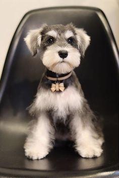 Schnauzer shirt, dog on shirt, smiling dog , funny dog shirt, schnauzer earpods case Schnauzer Grooming, Miniature Schnauzer Puppies, Schnauzer Dogs, Standard Schnauzer, Dog Grooming, Cute Little Puppies, Cute Dogs And Puppies, Baby Dogs, Pet Dogs