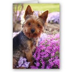 Yorkshire Terrier Blank Notecard from Zazzle.com