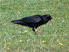 Chough at RSPB South Stack Sept 12