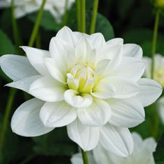 Dahlia 'White Onesta' - pack of 3 tubers - Rose Cottage Plants