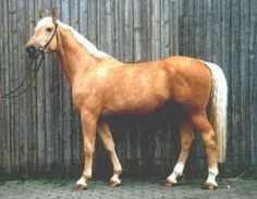 Kinsky horse comes from Bohemia, part of modern Czech Republik. It was created by Kinsky family, supposedly they've had riding horses since 17th century and their horses were very sought after. Apart from their athletic abilities they were popular also because of their palomino color. Today Kinskys are rare, at least partly merged to Czech WB but some pure Kinskys are still left. 40% of them are palominos or buckskins. Chestnuts, bays and double dilutes also occur, blacks are rare.