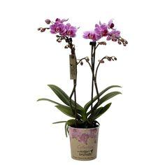 Little kolibri orchid 2 armenia Orchids, Glass Vase, Armenia, Home Decor, Homemade Home Decor, Lilies, Decoration Home, Orchid, Interior Decorating
