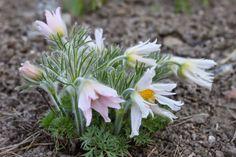 Pulsatilla vulgaris 'Perlen Glocke' Winter Temperature, Perennials, Plants, Flowers, Beads, Pictures, Plant, Perennial, Planets