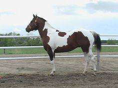 Pinto - Tobiano:     White coming downward     from the top of the back.     Legs are white but face is normal color.