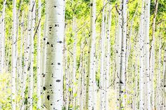 Image: A forest of aspen trees in the fall. (© jordansiemens/Getty Images)