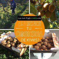 Al cultivar #Kiwis ayudas a contrarrestar los efectos de emisión de CO2. Un Árbol de Kiwis absorbe 10Kgs de CO2 x año  www.cultivatuskiwis.com