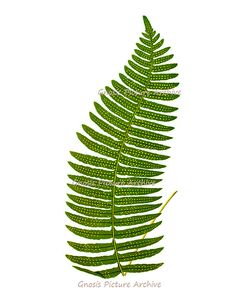 Wall Art Decor Fern Print No.3 Antique by GnosisPictureArchive, $10.00