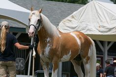 Sato - Palomino, Sabino, THoroughbred Stallion