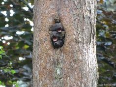 Pine Martens have semi-retractable claws allowing them to spend a large portion of their lives up in the trees Unique Animals, Cute Animals, Pine Marten, Cat Years, Youtube Cats, Fat Cats, In The Tree, Ferrets, Claws