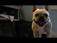 Haha this frenchie going after a laser pointer is too cute! I can't help but literally lol!