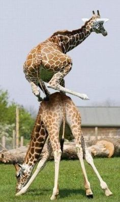 Wow! Giraffe stunts