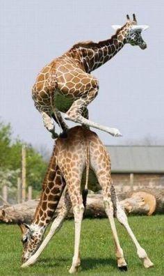 salto della giraffa