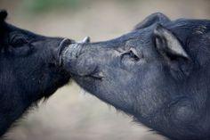 Want Delicious Pork
