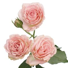 The 48 best dusky pink flowers images on pinterest beautiful classic pink spray garden roses mightylinksfo