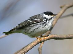 Blackpoll Warbler (May 2017) © Ashley Northcotte, Point Pelee, Ontario, Canada, May 2013, http://www.flickr.com/photos/ashleynorthcotte/8757923935/