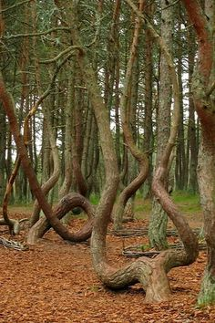 The Dancing forest in Curonian Spit, Kaliningrad