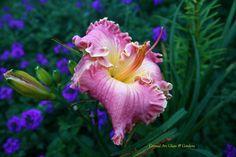 late blooming seedling hemerocallis