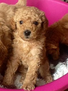 Stunning Red KC a Toy Poodle baby girl | Stockton On Tees, County ...