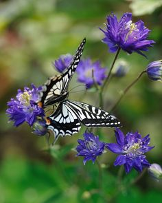 Asian Swallowtail butterfly (Papilio xuthus) on flowers (Aquilegia) Types Of Butterflies, Flying Flowers, Butterflies Flying, Beautiful Butterflies, Beautiful Flowers, Butterfly Kisses, White Butterfly, Butterfly Flowers, Purple Flowers