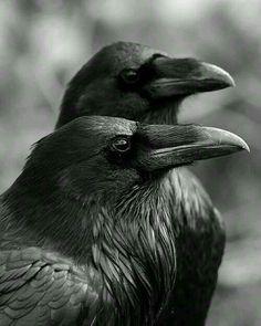 Ravens mate for life <3