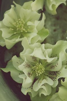 members of the genus Helleborus comprise approximately 20 species… Perennial Flowering Plants, Garden Plants, Perennials, Green Flowers, My Flower, Beautiful Flowers, Lenten Rose, Winter Plants, Christmas Rose