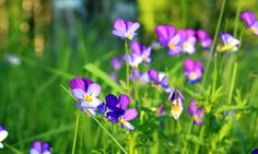 Picture of Purple Lawn Weeds Wild Violet