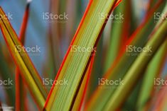 Sunlit 'Maori Queen' Flax (Harakeke) New Zealand Stock Photo What Image, Image Now, Social Media Ad, Kiwiana, Abstract Images, Ornamental Grasses, Feature Film, Royalty Free Images, New Zealand