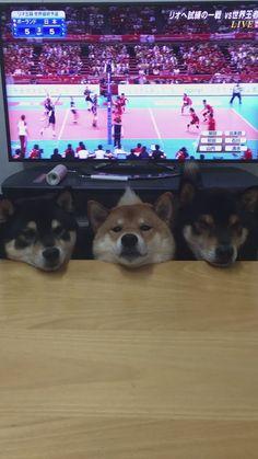 うちの3枚ブロック #柴犬