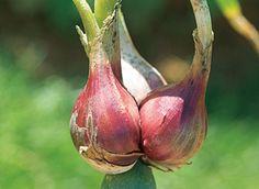 """L'oignon rocambole, un """"légume perpétuel"""" - C. Hochet - Rustica"""