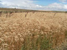 Resultado de imagen de cultivo trigo